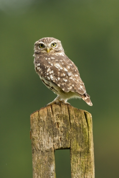 Little owl-1305