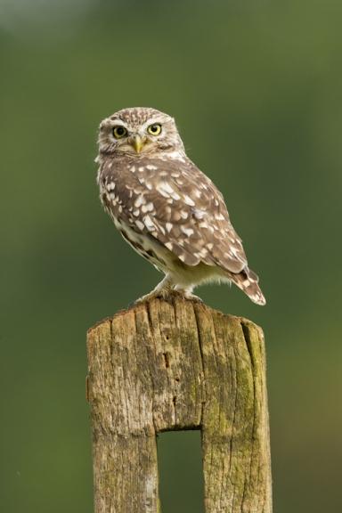 Little owl-1305